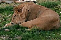 0212-08uu  Sleeping Male African Lion, Panthera leo © David Kuhn/Dwight Kuhn Photography