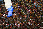 A hand reaches into a pile of lobsters in Grand Manan, New Brunswick. Grand Manan is referred to as the Queen of the Fundy isles and the majority of the industry on the island revolves around the lobster fishery. If the proposed Energy East pipeline is built it will result in a massive increase in the tanker traffic in the Bay of Fundy and increase the risk of a spill that could wipe out the lobster industry and devastate Grand Manan. (Credit: Robert van Waarden - http://alongthepipeline.com)