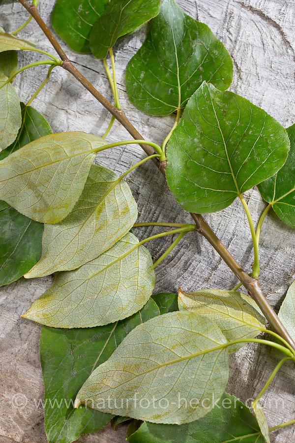 Balsam-Pappel, Balsampappel, Blatt, Blätter, Populus spec., balsam poplar, leaf, leaves