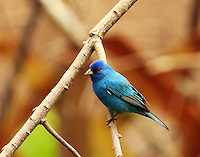 Indigo bunting adult male at Paradise Pond in April