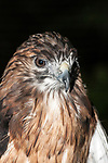 Red-tailed Hawk, close-up of face, beak and neck, vertical