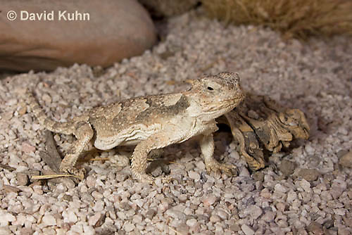 0610-1010  Desert Horned Lizard or Horny Toad (Mojave Desert), Phrynosoma platyrhinos  © David Kuhn/Dwight Kuhn Photography