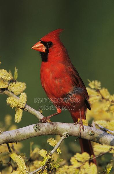 Northern Cardinal, Cardinalis cardinalis,male on blooming Blackbrush Acacia (Acacia rigidula) , Lake Corpus Christi, Texas, USA, March 2003