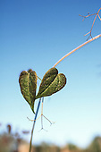 Amazon, Brazil. Two leaves on a new shoot.