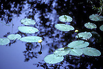 Water lily pads and leaves