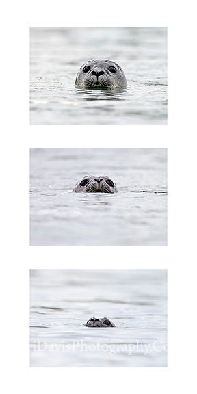 Seal Collage