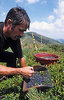 Europe/France/Auvergne/15/Cantal/Parc Naturel Régional des Volcans/Massif du Puy Mary(1787 mètres): Ramassage des myrtilles avec le peigne