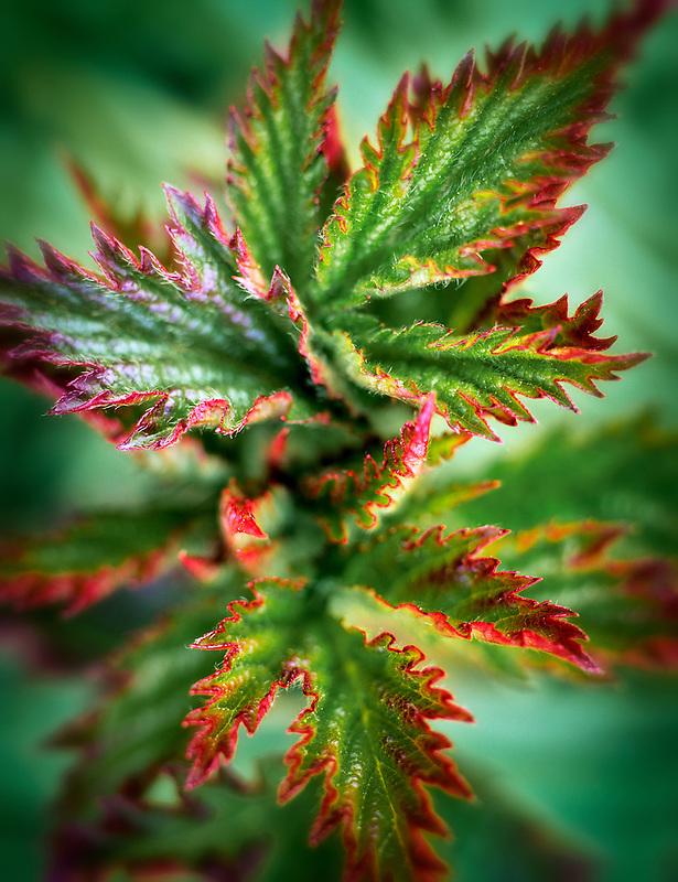 Red tipped new leaf growth of Himalaya blackberry (rubus procerus). Near Alpine, Oregon.