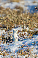 Short-tailed weasel, in winter (ermine) phase, arctic tundra, Alaska.