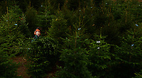 BNPS.co.uk (01202 558833)<br /> Pic: ZacharyCulpin/BNPS<br /> <br /> Pictured: Peter Hyde selects trees at his Trinity Street Christmas Tree plantation in Dorset.<br /> <br /> Christmas tree growers are expecting a bumper festive season this year as people seek to be more environmentally friendly.<br /> <br /> The British Christmas Tree Growers Association are expecting over seven million trees to be sold in the UK in the coming months.<br /> <br /> They say that the figure has been steadily rising in recent years as families turn their back on fake trees which are usually made of plastic.<br /> <br /> On average, fake trees survive just three years before being thrown away and often put into landfill.