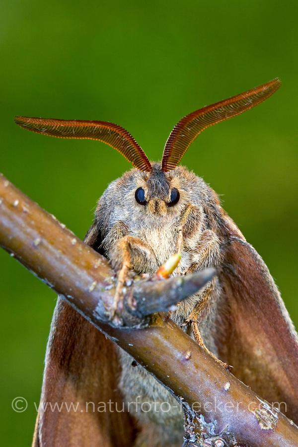 Brombeerspinner, Brombeer-Spinner, Männchen, Macrothylacia rubi, fox moth, male, Le Bombyx de la ronce, Glucken, Lasiocampidae