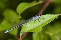 Große Pechlibelle, Weibchen, Pech-Libelle, Ischnura elegans, common ischnura, blue-tailed damselfly