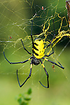 Female Giant Golden Orb-web Spider (possibly Nephila sp.) with tiny male spiders also visible in web. Langoue Baie, Ivindo National Park, Gabon, Central Africa.