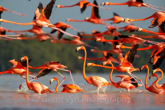 American Flamingo (Phoenicopterus ruber) flock taking flight. Yucatan, Mexico.