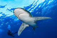 Oceanic whitetip shark, Carcharhinus longimanus, with Diver, Brother Islands, Egypt, Red Sea, Indian Ocean