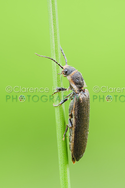 A Toothed Click Beetle (Denticollis denticornis) perches on a plant stem.