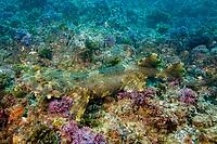 camouflage, Ornate Wobbegong shark, Orectolobus ornatus, Gold Coast, Queensland, Australia, Pacific Ocean