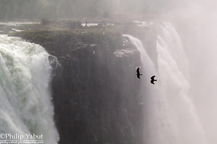 A pair of yellow-billed kites (Milvus aegyptius) soars around Victoria Falls, Zimbabwe.