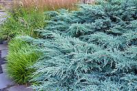 Juniper 'Grey Owl' Juniperus virginiana evergreen shrub, silver foliage in garden, Pennsylvania