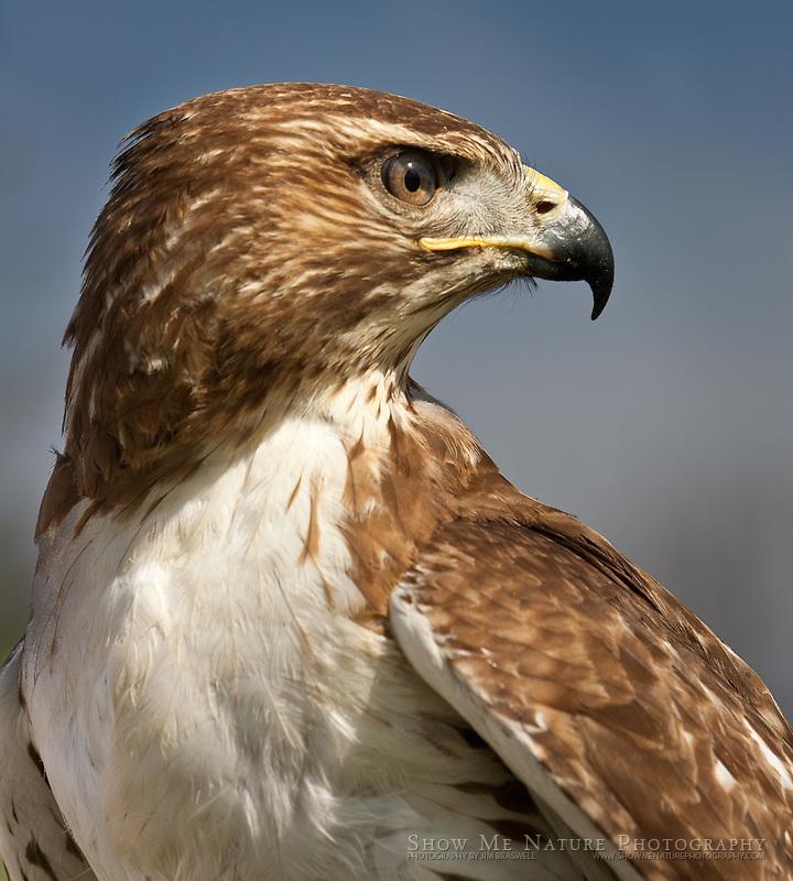 """Red-tailed Hawk"", Missouri"