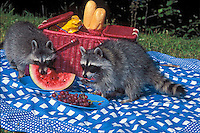 RACCONS reading unsupervised picninc supplies..Autumn. North America..(Procyon lotor).