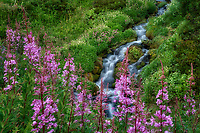Small unamed stream with fireweed and summer wildflowers. Mt. Rainier National Park, Washington