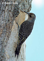 FK01-020z  Common Flicker - parent at nest hole, coming to feed its young - Colaptes auratus