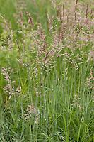 Wolliges Honiggras, Honig-Gras, Holcus lanatus, Yorkshire Fog, Soft Grass, Houque