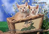 Xavier, ANIMALS, REALISTISCHE TIERE, ANIMALES REALISTICOS, cats, photos+++++,SPCHCATS874,#a#, EVERYDAY