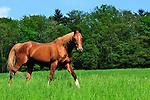 Horse Springdale Farms Pa.