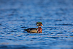 Drake wood duck in northern Wisconsin on a very windy day.