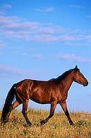 Wild Horse-- young bachelor stallion.  Montana..(Equus caballus)