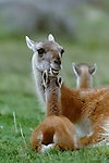 Guanaco with young, Torres del Paine National Park, Chile