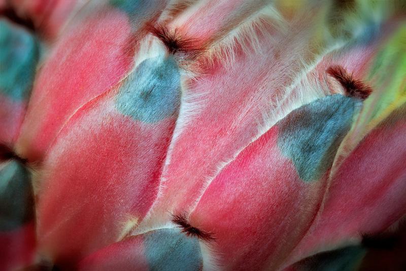 Close up of Protea flower. Hawaii Island.