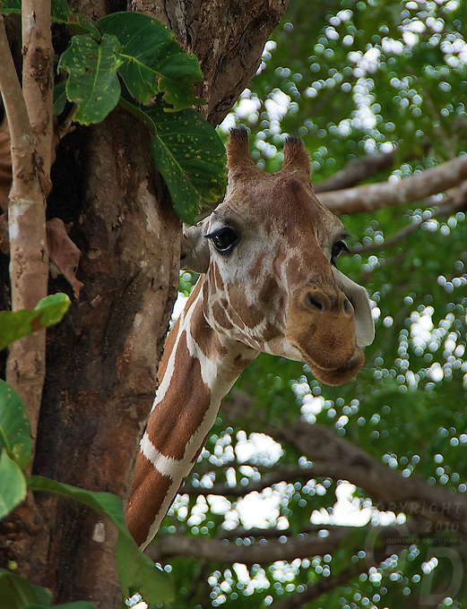 African Giraffe on the Island of Calauit Island, Palawan Islands, Philippines. This island in the south of the Philippines had been set aside for then President F.Marcos as a Game reserve. It is now developed as a nature reserve where these African species roam around free.