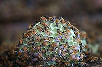 Des abeilles ont construit des nouvelles cellules et un nouveau rayon de cire.///The bees have built new cells and a new wax honeycomb.