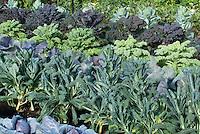 Brassica vegetables growing in garden, including kale, cabbages 40198