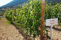 Vines. Lagorthi vine variety. Biblia Chora Winery, Kokkinohori, Kavala, Macedonia, Greece