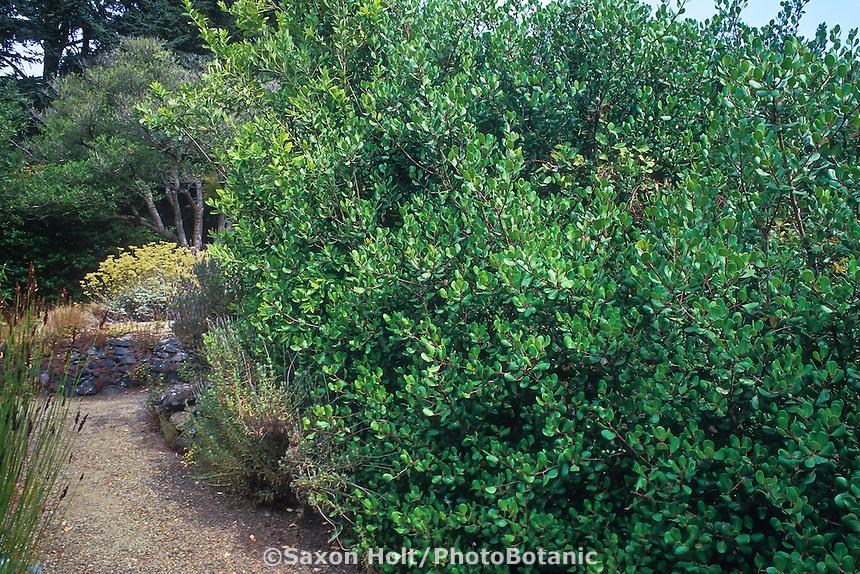 Rhus integrifolia (Lemonade Berry, Sumac) Hedge of California native shrub.