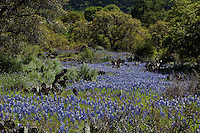Afternoon sun illuminates a Meadow of Texas Bluebonnets