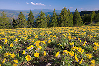 Yellow daisy like flowers at Hell's Canyon National Recreation area.. Oregon