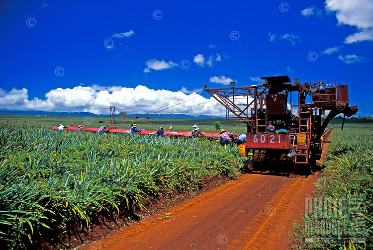Pineapple pickers work in the pineapple fields of the Dole Plantation located in the central plains of Oahu.