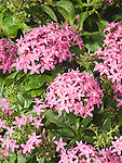 Egyptian Star Cluster, Pentas Grafitti Violet