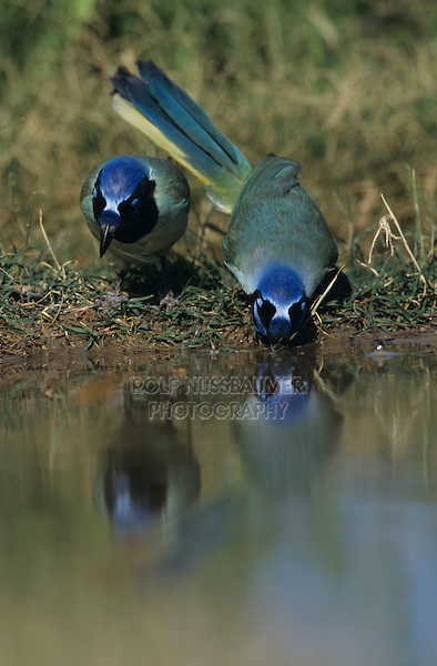 Green Jay, Cyanocorax yncas, pair drinking, Starr County, Rio Grande Valley, Texas, USA, March 2002