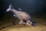 White Perch swimming right over sand bottom in head down position