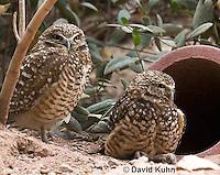 0723-1102  Western Burrowing Owl (Northern Borrowing Owl), Restoration Effort for Endangered Owl Species Using Artificial Burrow Entrance, Athene cunicularia hypugaea  © David Kuhn/Dwight Kuhn Photography.
