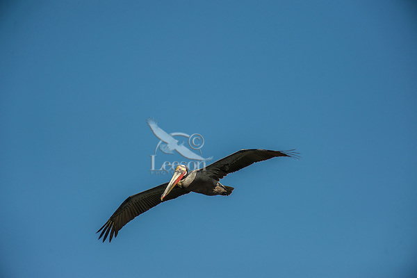 Brown Pelican (Pelecanus occidentalis) soaring/flying--looking for fish.  California Coast.  Early Spring.  Adult California Brown Pelicans show a bright red throat pouch during mating season.