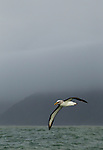 Buller's Albatross (Thalassarche bulleri) flying over ocean, Kaikoura, South Island, New Zealand