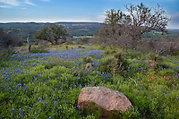 Bluebonnets in Hill Country, Willow City Loop Road, Texas
