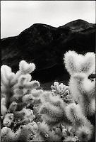 Cholla cactus<br />